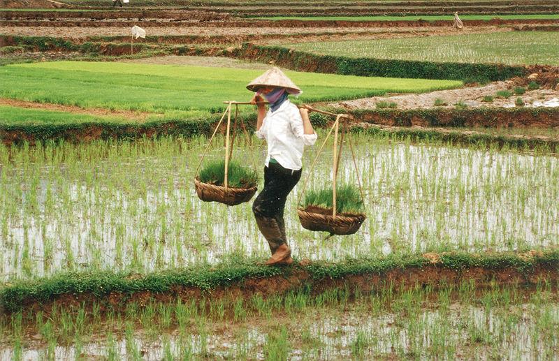 800px-Farmer_in_Vietnam