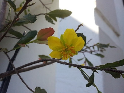 bong mai, Ochna plant